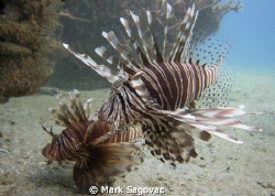 Here too- we have Lion fish at the Blue Heron Bridge too.... by Mark Sagovac