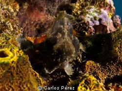 Little frog fish potrait by Carlos Pérez