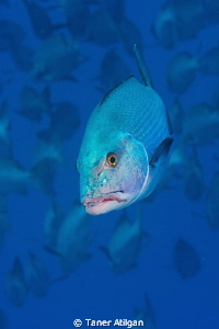 Snapper portrait from Ras Mohammed by Taner Atilgan