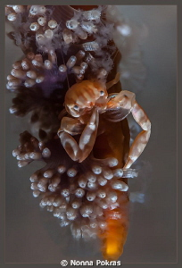 Soft coral porcellain crab by Nonna Pokras