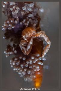 Soft coral porcellain crab by Nonna Pokras