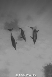 longnose family, Dolphin reef by Eddy Van Lier