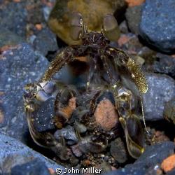 Spearing Mantis Shrimp by John Miller