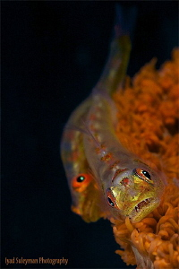 Goby Couple by Iyad Suleyman