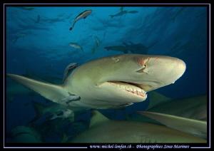 Lemon Sharks Tiger Beach. by Michel Lonfat