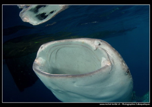 Whale shark filtering water. by Michel Lonfat