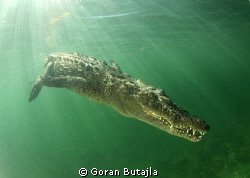 croc decides to end the session with photographers and sw... by Goran Butajla