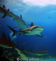 Grey Reef Shark w pilot fish by Dave Difiore