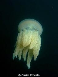 jellyfish by Carlos Ernesto
