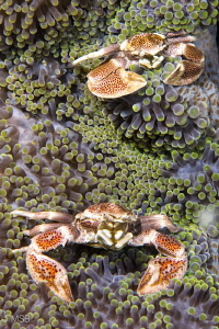 Two porcelein crabs. They were moving a lot to put them i... by Mehmet Salih Bilal