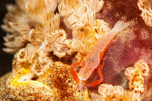 Imperial shrimp on the spanish dancer. by Mehmet Salih Bilal