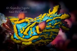 Colorfull Nudibranch, Puerto Vallarta Mexico by Alejandro Topete