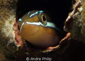 A nice Smiley :-) - Blenny Portrait by Andre Philip