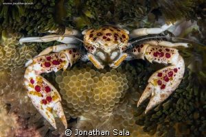 Spotted Porcelain Crab by Jonathan Sala