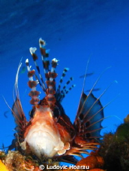 The Broadbarred firefish Pterois antennata is a common sp... by Ludovic Hoarau
