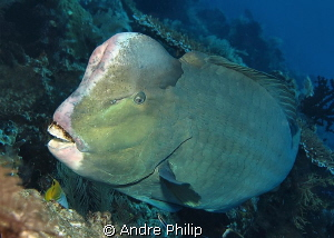 a rarely very close encounter with a bumphead parrotfish by Andre Philip