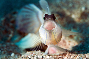 Shrimp goby by Gleb Tolstov
