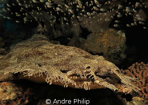 Wobbegong Shark by Andre Philip