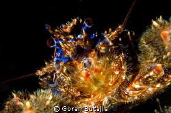 house reef crab by Goran Butajla
