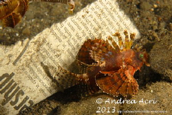 Scorpionfish on the Newspaper by Andrea Acri