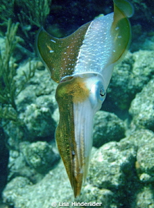 "Squid trying to tell me ""something"" with the color displa... by Lisa Hinderlider"