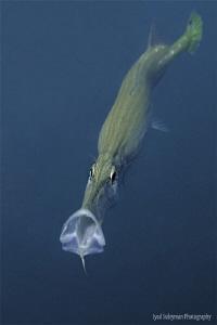 Yawning Trumpetfish... by Iyad Suleyman