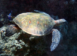 Green Turtle entering cave for rest. Maui, Hawaii by Robert Fleckenstein