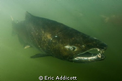 Spawning male King Salmon by Eric Addicott