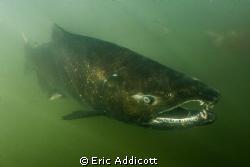 Spawning male King Salmon by Eric Addicott