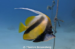 "Red Sea bannerfish  NIKON D7000 in a Seacam ""Prelude"" u... by Thomas Bannenberg"