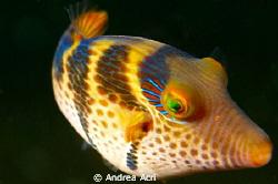 Juvenile triggerfish by Andrea Acri