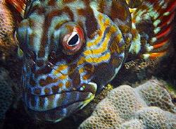 Reef fish, snorkeling, Maui, Hawaii. by Robert Fleckenstein