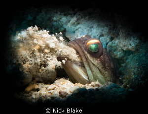 A Jawfish excavates its burrow in Manado, Indonesia by Nick Blake