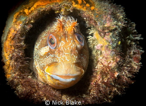 A Tompot Blenny sheltering inside a pipe at Swanage Pier, UK by Nick Blake