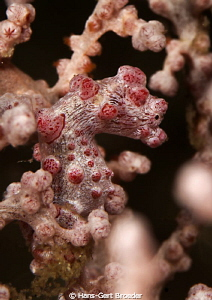 Pygmy Seahorse Lembeh Strait,  by Hans-Gert Broeder