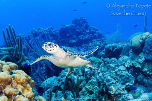 Turtle in the Reef, San Pedro Belize by Alejandro Topete