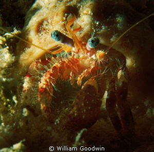 Blue-eyed Crustacean, Cayman Brac night dive. by William Goodwin