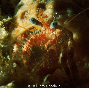 Blue-eyed Crustacean, Cayman Brac night dive. by William Goodwin