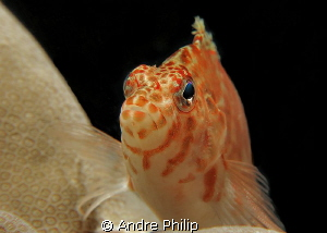 Portrait of a Hawkfish by Andre Philip