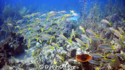 Schooling Yellowtails by Dave Difiore