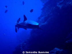 My beautiful white tip face to face by Samantha Buonvino