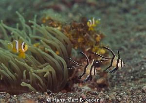 Cardinalfish, Orange fin anemonefish Lembeh Strait,  by Hans-Gert Broeder