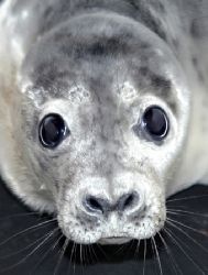 Grey Seal pup. Nikon D70, 300mm lens by Grant Kennedy
