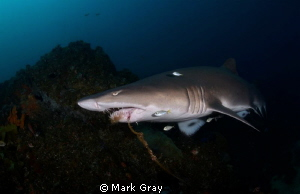 Grey Nurse Shark with Stainless long line hook by Mark Gray