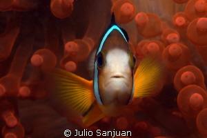 Clownfish and anemone. Nikon D70, 60mm Macro.  Aquatica H... by Julio Sanjuan