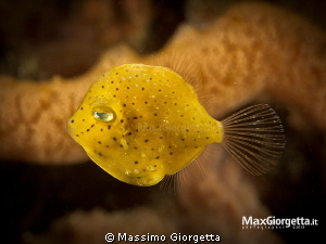 Yellow filefish by Massimo Giorgetta