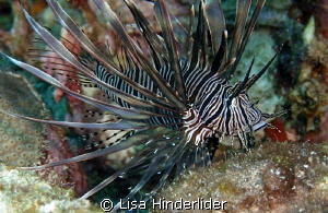 Lion fish look so elegant & beautiful, it is truly a sham... by Lisa Hinderlider