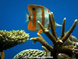 Butterfly fish posing in his reef realm by Samantha Buonvino