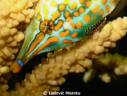 The orange spotted filefish or harlequin filefish, Oxymon... by Ludovic Hoarau