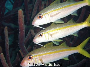 Goatfish Trio by Lisa Hinderlider